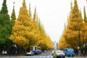 青山銀杏並木