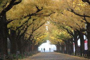 紅葉した銀杏並木は黄金色の葉が地面まで絨毯のように敷き詰められ、人さえ少なければ感動の前撮り&フォトウェディングが実現できます